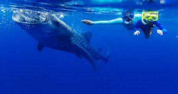 Nadando con Tiburones Ballena en la sla Holbox